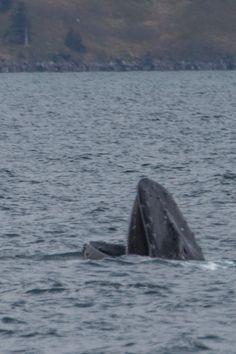 seward-glacier-humpback-whale-bubble-netting