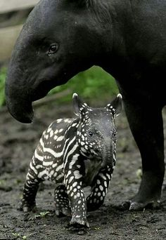 Tapir baby and mom #HappyMothersDay