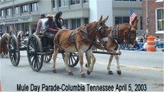 MAURY COUNTY TENNESSEE. COLUMBIA TENNESSEE-MULE CAPITAL OF THE WORLD-MULE DAY PARADE   2003.     Courtesy: Greg Krenzelok, U.S. Army Veterinary Corps Preservation Group,   Researcher & Historia (USA).