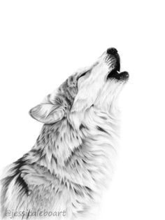 Graphite pencil howling wolf drawing. Another drawing of the same reference, can't seem to get enough of this one!