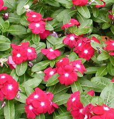 Red Madagascar Periwinkle Catharanthus Roseus - Vinca Rosea