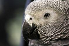 Senegal Parrot, African Grey Parrot, My Animal, Beautiful Birds, Animal Kingdom, Parrots, Tattos, Amazing, Bunny