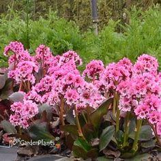 Bergenia DRAGONFLY 'Sakura'