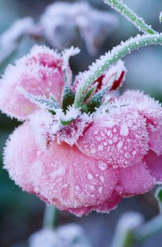 Frosted Pink Rose in Winter. Pettifers, Oxfordshire Clive Nichols Garden Photography