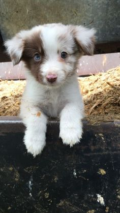 Adorable puppy with one blue eye and one brown eye