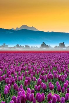 Skagit Valley Tulips and Mt Baker. Washington. by Ahmed Magdy.