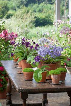 Streptocarpus Collection (indoor plants)