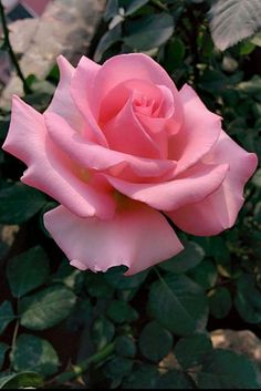 Newest Pics Pink Roses photography Suggestions Plants usually are the perfect approach to express your feelings. For thousands of years, red roses possess c Beautiful Rose Flowers, Pretty Roses, Beautiful Flowers, Flower Images, Flower Photos, Flower Art, Pink Roses, Pink Flowers, Roses Photography
