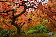 Try One of These 13 Pretty Maple Trees in Your Garden
