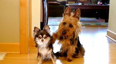Little Dog Blames the Other One For Pooping in the Kitchen. That's an Australian Terrier for you! ^_^