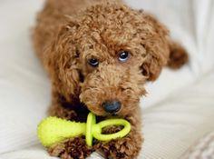poodle miniature,