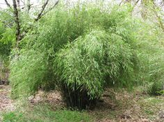Learn how to grow bamboo from cuttings, growing bamboo from cuttings is possible if you grow it in warm temperature.