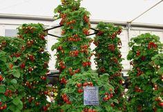 Клубника в трубах: выращиваем правильно