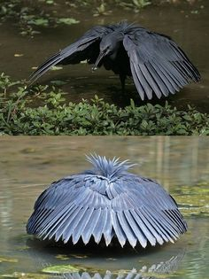 """Black Heron shades water with wings to see prey better."""