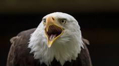 """https://flic.kr/p/HPGwUm   Weißkopfseeadler   Der Weißkopfseeadler (Haliaeetus leucocephalus, aus griechisch ἁλι- hali- """"meerwasser-"""", αἰετός aietos """"Adler"""", λευκός leukos """"weiß"""", κεφαλή kephale """"Kopf"""") ist ein großer Greifvogel aus der Familie der Accipitridae. In Aussehen und Lebensweise ähnelt die Art sehr dem eurasischen Seeadler, die beiden Arten werden daher von manchen Autoren zu einer Superspezies vereinigt. Der Weißkopfseeadler ist der Wappenvogel der USA und daher auf deren Siegel…"""