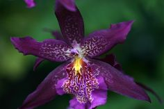 Beallara Orchid