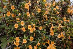 Sticky Monkeyflower [Mimulus aurantiacus] This showy perennial has abundant apricot colored blossoms that will attract hummingbirds. Occasional summer watering will extend the blooming season. Drought tolerant. 1-4'h x 3'w