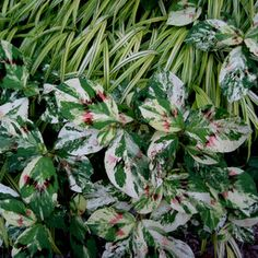 Polygonatum virginianum 'Painter's Pallete' Can be a weed, but what a lovely one.