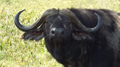 Cape Buffalo- NOT the fella you want to run into in the bush!