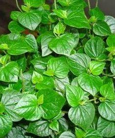 Jual Tanaman Suruhan - BibitBunga.com Spinach, Herbalism, Vegetables, Herbal Medicine, Vegetable Recipes, Veggies