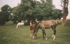 Horses near Aflou, Algeria