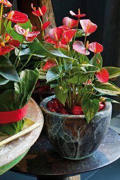 Have got to have one of these when I go bred anthurium ack to Walmart! Succulents Garden, Garden Plants, Indoor Plants, Planting Flowers, Potted Plants, House Plants Decor, Plant Decor, Exotic Flowers, Beautiful Flowers