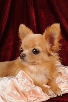 Introducing the Chihuahua, the perfect version of grace and elegance!