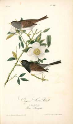 Oregon Snow-Bird (1840-1844) with Cherokee Rose (Rosa Laevigata)by John James Audubon (1785-1851). Plate from 'The Birds of America' by John James Audubon. Image and text courtesy NYPL Digital Gallery.