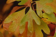 sassafras leaves pictures fall foliage | Sassifras in Early Fall Color Change