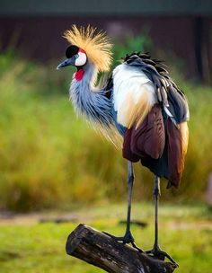 The Crowned Crane of Africa.