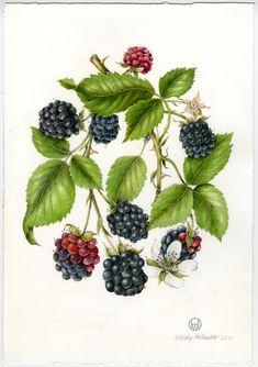 Orignal Illustration of Black Raspberry. Wendy Hollender. Botanical card, illustration, nature, flowers, berries