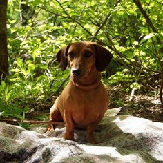 #Чара #�� #�� #собака #такса #собаки #dog #dogs #animals #animals #животное #животные #природа #zoo #фото #фотография #фотограф #sony #sonya450 #�� #хобби #щенок #щенки #photo #photography #photographer #фотоохота #охотник http://tipsrazzi.com/ipost/1505132095453089715/?code=BTjTaqRhU-z