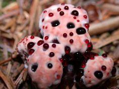 http://www.medioambiente.org/2012/09/la-muela-del-diablo-un-hongo-que-sangra.html