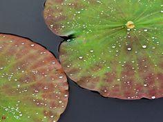 Lotus leaves in Tsurugaoka-hachimangu
