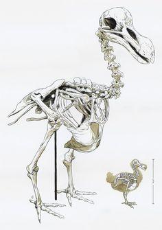 Illustrations by Matthew Woodson - Dodo Skeleton! Extinct Animals, Prehistoric Animals, Art Institute Of Chicago, Big Bird, Skull And Bones, Animal Design, Animal Crossing, Pet Birds, Art Inspo