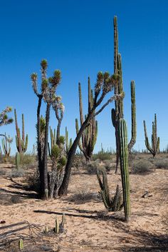 Tree Yucca (Datilillo, Yucca valida) - Baja California, Mexico Baja California, Unique Plants, Mexico Travel, Belize, Habitats, Garden Tools, North America, The Good Place, Flora