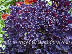 """Coleus 'Cantigny Royale' (medium 15""""; mounding)  Tiny-leaved duckfoot type coleus of the clearest, deepest purple color imaginable. Very dense and refined, it is excellent for edging beds or for tumbling over the edge of a pot or an urn. Fabulous hanging basket plant!  It may develop light green highlights in low light. Sun tolerant."""