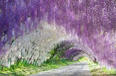 Wisteria Tunnels in Ashikaga Flower Park, Tochigi Prefecture, Japan. In bloom late April to early May.
