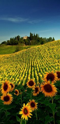 Tuscany, Italy. Sunflowers bloom in the height of summer from June to August. || #Siena #Florence http://www.italicarentals.com/