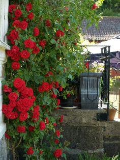 13 - Röd klätterros. Rosa 'Flammentanz'