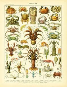 https://www.etsy.com/fr/listing/255799190/1900-crustaces-planche-originale-nouveau?ref=shop_home_active_11