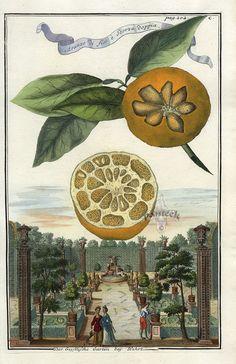 Aranzo di fior e scorza doppia - J. C. Volckamer. Antique botanical citrus illustration.
