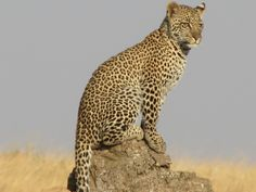 Leopard at vantage point, Tarangire National Park, Tanzania
