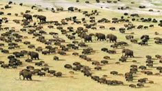 """A herd of Bison and woolly mammoth roam across mammoth steppe in """"Ice Age Giants"""". Prehistoric World, Prehistoric Creatures, Prehistoric Dinosaurs, Natural Salt, Extinct Animals, Ice Age, Fauna, Natural World, Mammals"""