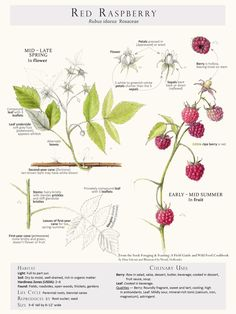 Foraging & Feasting Limited Edition Print - Raspberry
