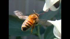 Bee Control Sydney 29 10 2015 Youtube