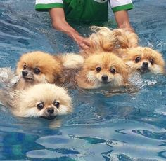 They all look a bit freaked out to me.  Love my Poms!