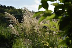 公園の中には秋を感じる植物が目につくようになりました。その最たるものがすすきですね。緑を前景にすすきを撮りました。 風を受けて揺れながら、穂 Photography Portfolio, Nature, Plants, Naturaleza, Plant, Nature Illustration, Off Grid, Planets, Natural