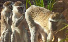 Vervet Monkey group