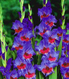 Die 925 Besten Bilder Von Gladiolen In 2019 Gladioli Gladiolus